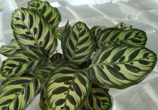 孔雀竹芋与红脉豹纹竹芋有何区别