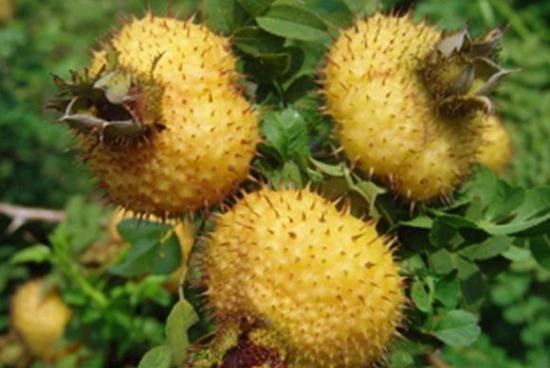 金黄色的果子