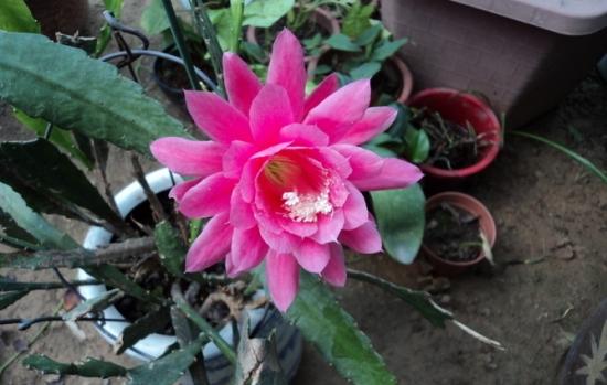 同一盆令箭荷花能开多种颜色的花吗