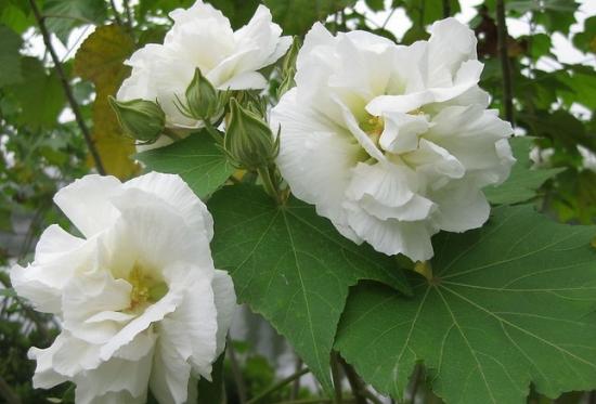 洁白的芙蓉花