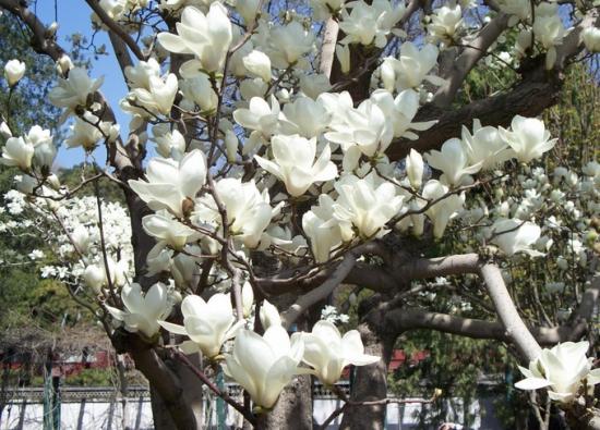 白兰花的养护要注意哪几点:既不耐旱也不耐湿