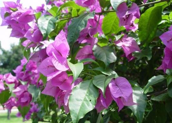 怎样培养叶子花的树冠