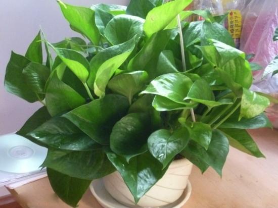 长势良好的绿萝盆栽