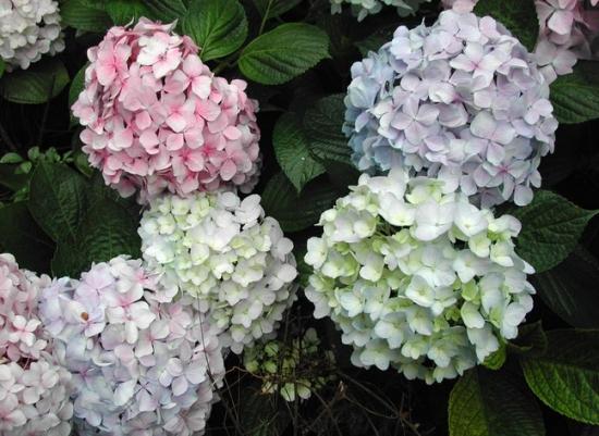八仙花有何特性,有哪些品种