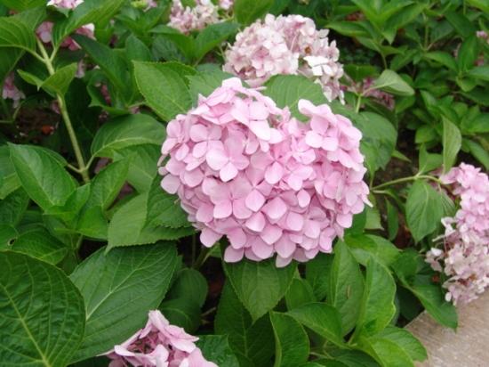 盆栽八仙花应注意些什么