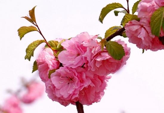 艳丽的榆叶梅花
