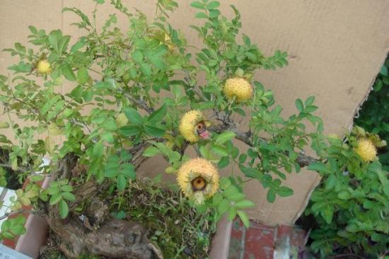 刺梨 盆栽