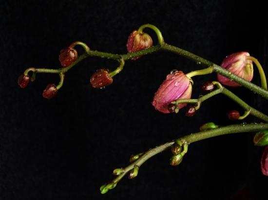 蝴蝶兰 花蕾