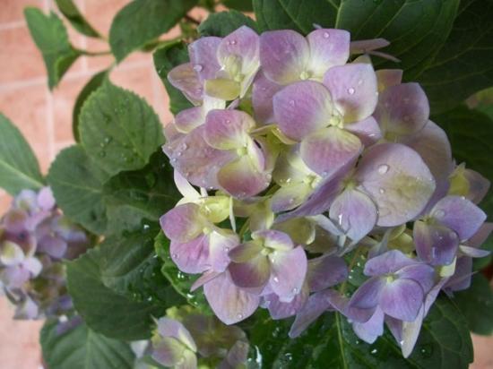 怎样使八仙花一年开两次花