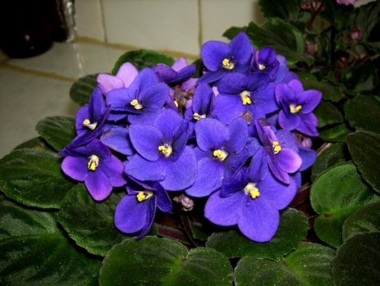 非洲紫罗兰养护常会出现哪些问题