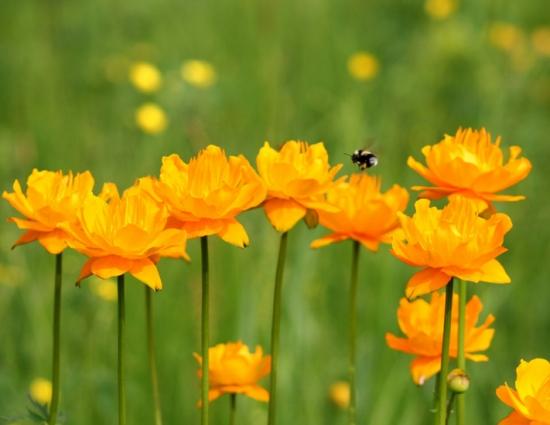 怎样让金莲花秋种冬天开花