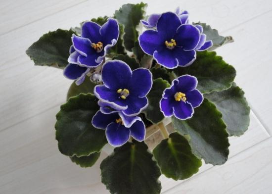怎样使非洲紫罗兰开花更多
