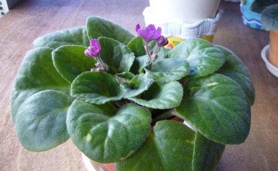 家庭怎样移栽非洲紫罗兰
