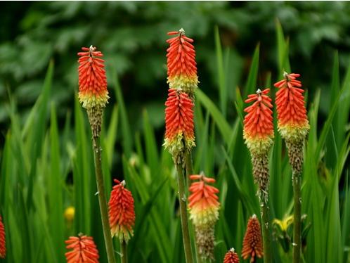 火炬花的养殖方法:注意施足基肥