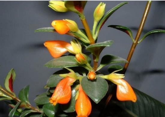 盆栽袋鼠花养护有哪些要点