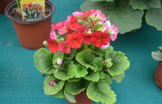 四季樱草能放在阳台上栽培吗