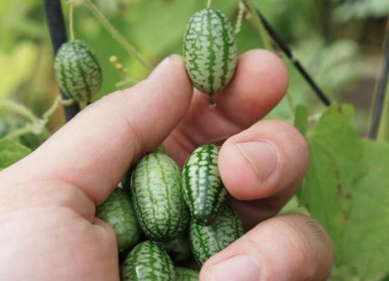 比手指还小的西瓜
