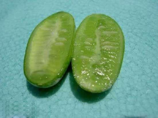 世界最小的西瓜--佩普基諾