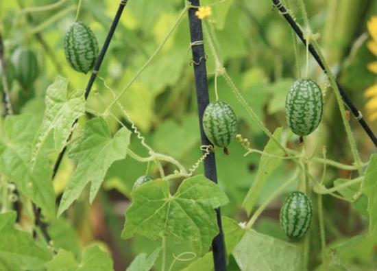 佩普基诺 栽种