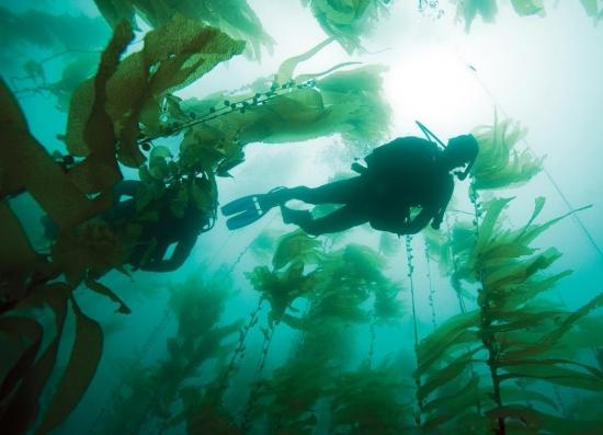 最大的藻类植物:巨藻