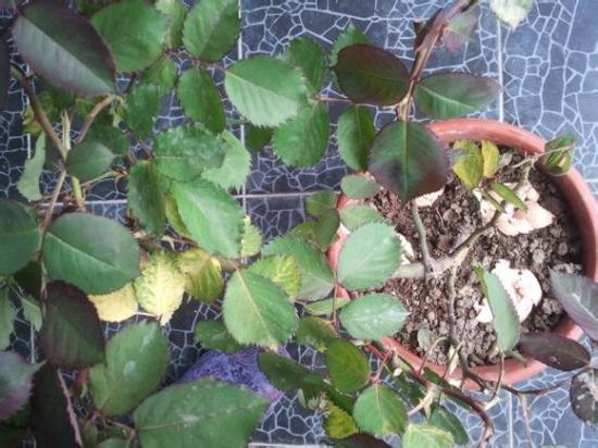 月季的基部叶子发黄脱落