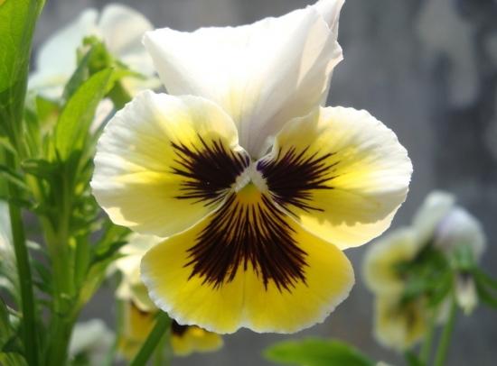 可爱的蝴蝶花
