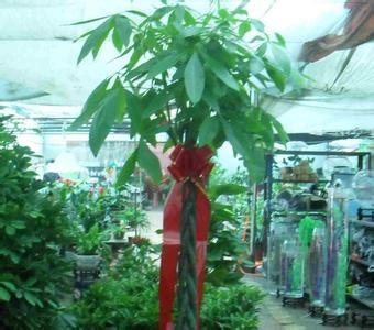 发财树的养殖