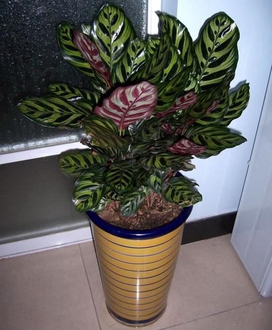 卧室里美丽的孔雀竹芋