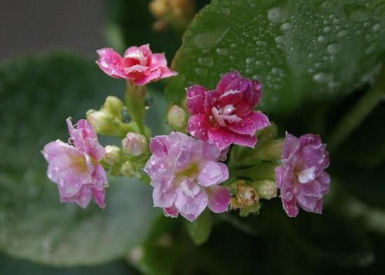 雨中的长寿花