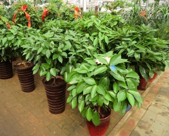 盆栽植物平安树_平安树图片附介绍:相册的图片免费下载