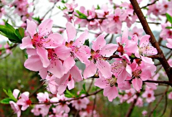 一簇簇桃花图片