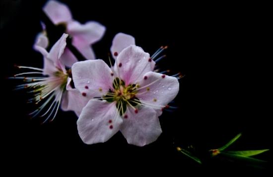惊艳的桃花摄影图图片