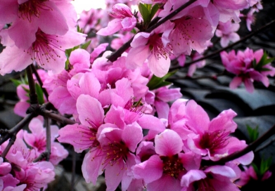 竟相开放的桃花图片