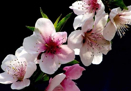 桃花摄影图图片