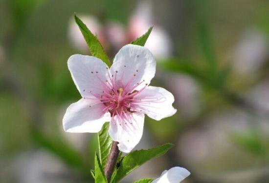 一枝独秀-桃花图片