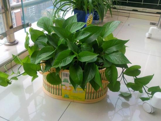 家里养殖的一盆绿萝图片