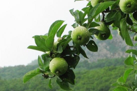 大山里的青苹果树图片
