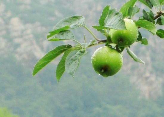 两只青苹果图片