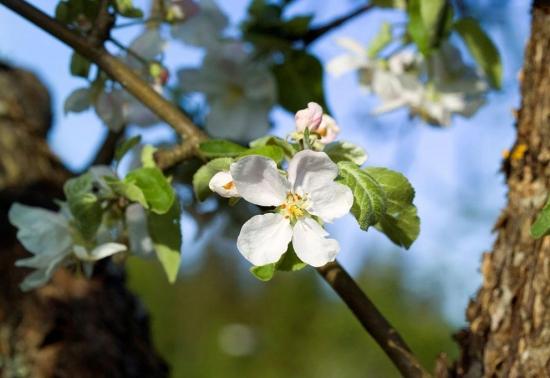 苹果树开花了图片
