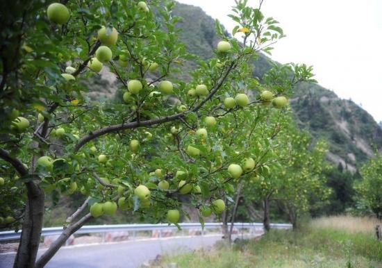 青苹果树果园图片