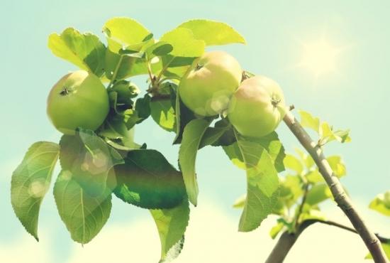 阳光照耀下的青苹果树图片