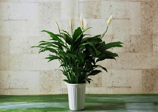 白掌盆栽图片