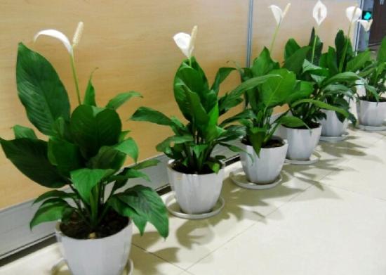装饰走廊的白掌盆栽图片