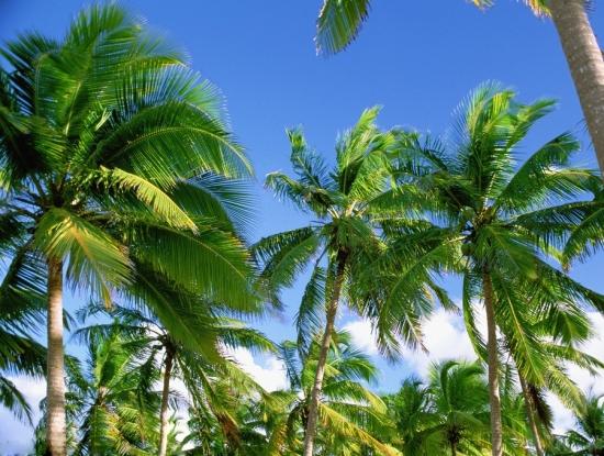 椰子树林图片