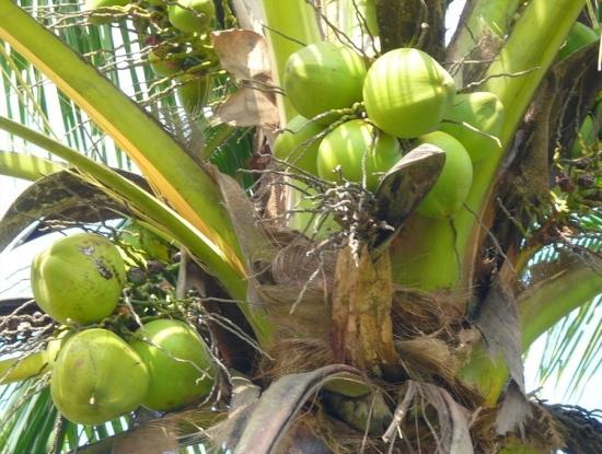 树上的椰子图片