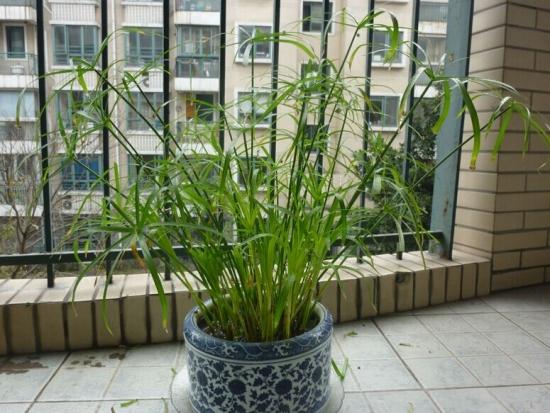 阳台的水竹