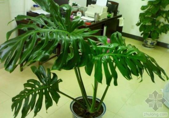 辦公室中的龜背竹