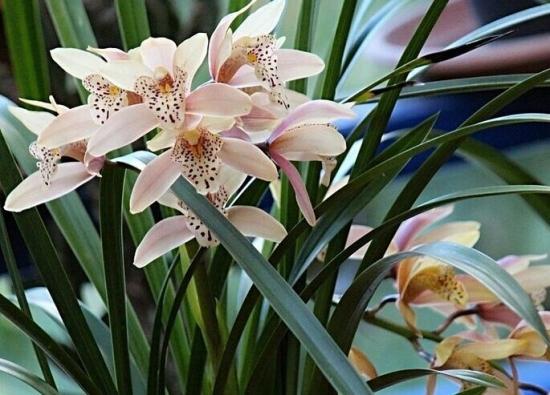 兰花的养殖方法和注意事项:兰花喜阴,怕强光直