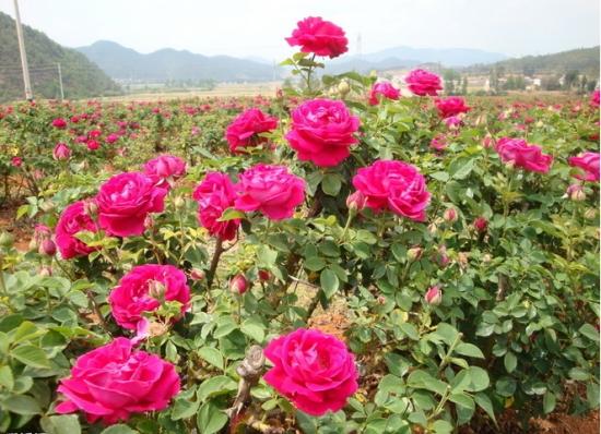 玫瑰花植株
