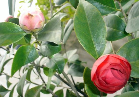 美丽的茶花树